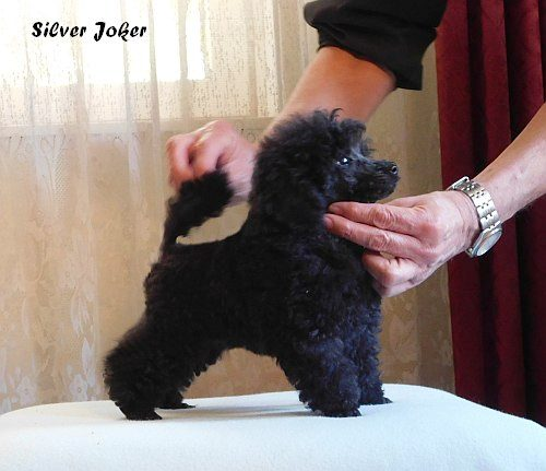Silver Joker toy poodle white, 